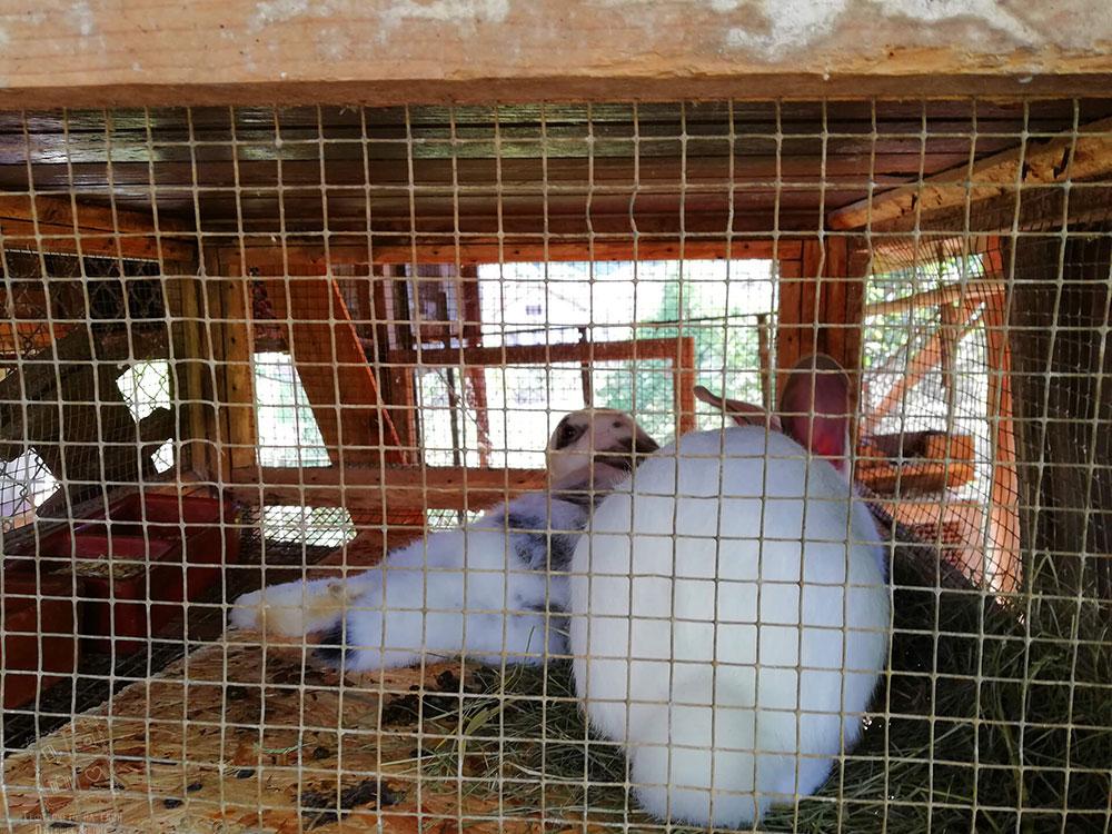Зайченца, отглеждани в комплекс Млечен дом в село Смилян