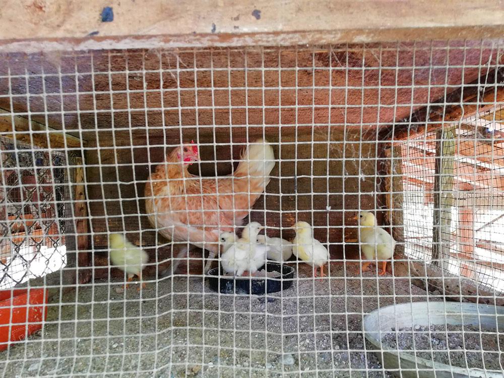 Животинки в комплекс Млечен дом, село Смилян