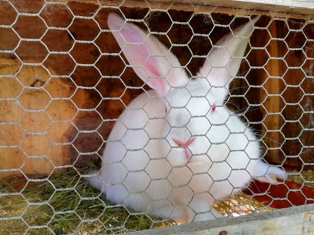 Зайче, отглеждано в комплекс Млечен дом, село Смилян